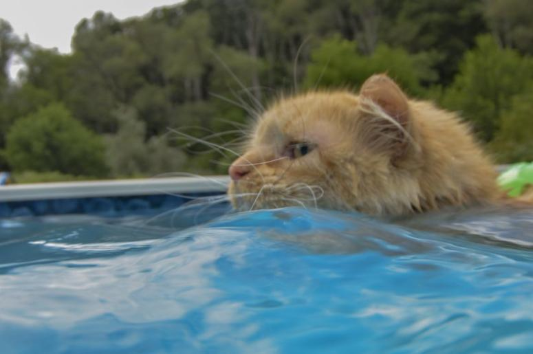 Fearless feline dives into summer with love of swimming y98 - North bend swimming pool schedule ...