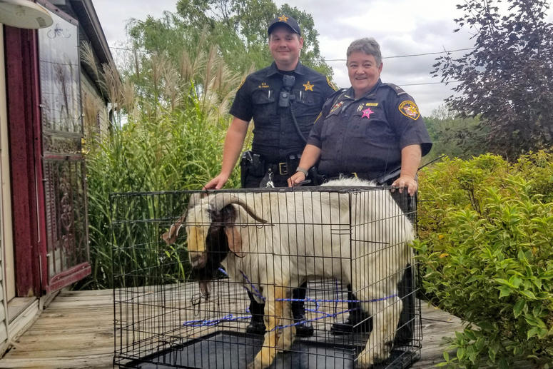 Ashland County sheriff's deputies pose with a goat the removed from a home in Sullivan Township, Ohio.
