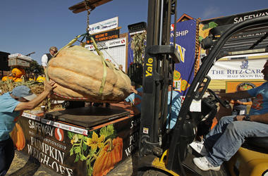 A massive pumpkin grin by Leonardo Urena of Napa, Calif., is lowered on a scale with a forklift on Monday, Oct. 14, 2019, in Half Moon Bay, Calif. The pumpkin weighed in at 2,175 lbs., a new California weight record.