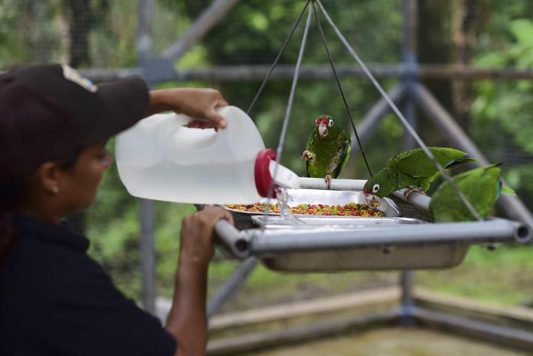 Biological science technician Iris Rodriguez feeds a trio of Puerto Rican parrots inside a flight cage in the Iguaca Aviary at El Yunque, Puerto Rico.