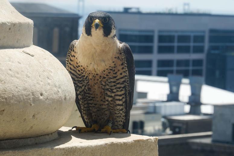 City Hall Falcons