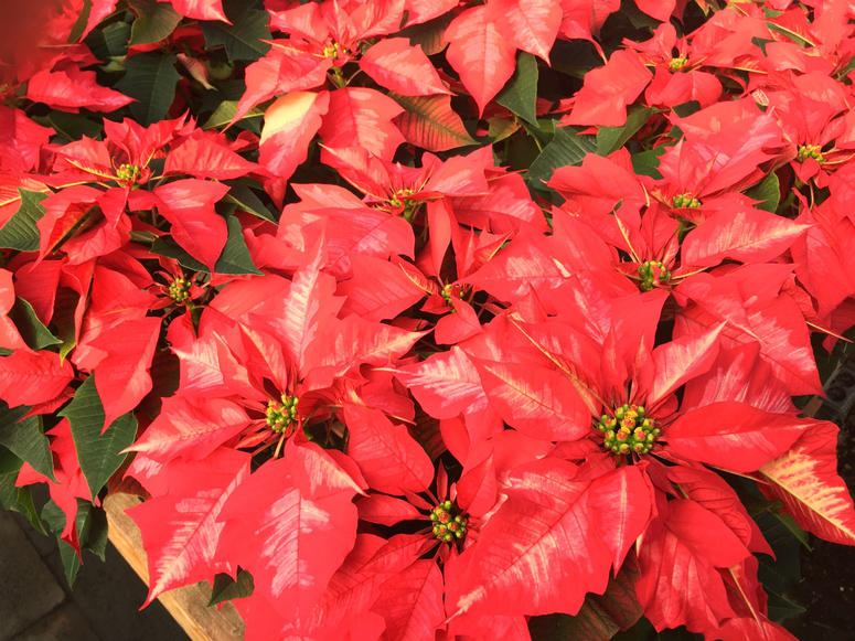 One of the many hybrid varieties of poinsettias grown at Glick's Greenhouse in Oley, Berks County