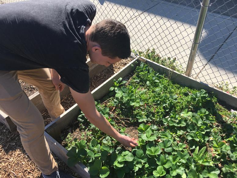 Connor Caruso checks out the progress of the strawberries growing in one of the raised beds.onnor Caruso checks out the progress of the strawberries growing in one of the raised beds.