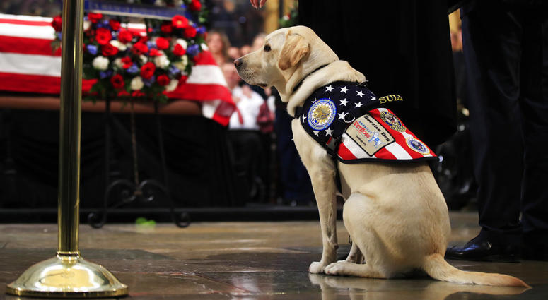 Sully, former President George H.W. Bush's service dog, pays his respect to President Bush as he lie in state at the U.S. Capitol in Washington, Tuesday, Dec. 4, 2018.