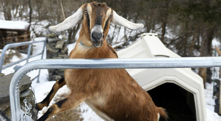 Lincoln, a 3-year-old Nubian goat, is poised to become the first honorary pet mayor of the small Vermont town of Fair Haven.