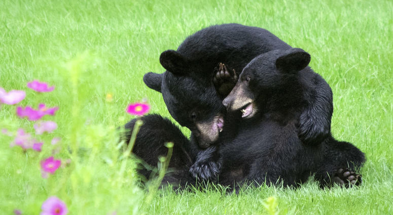 Two American black bears in New Jersey