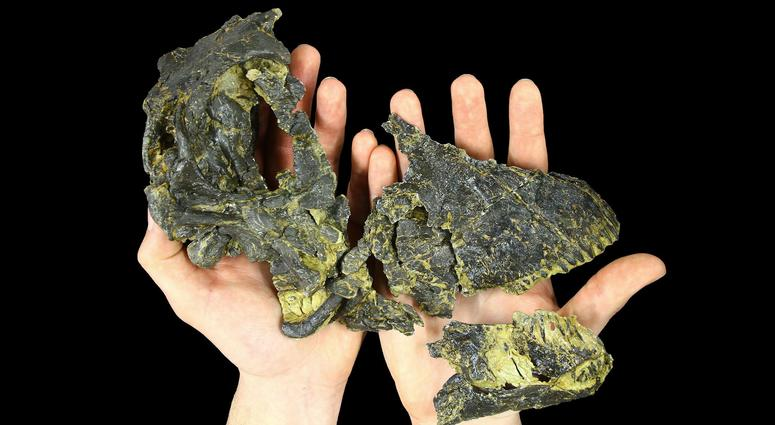 Baby Dinosaur Skull Found