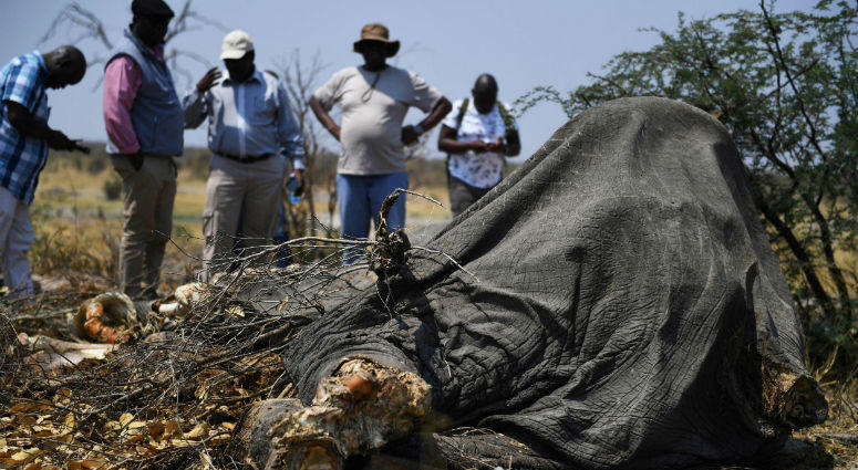 Members of the media gather around the carcass of a dead elephant in Chobe, on September 19, 2018.