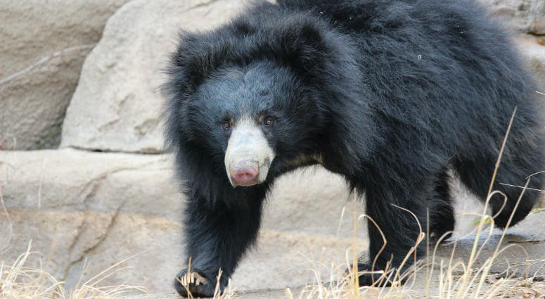 Kayla, a 6-year-old sloth bear. Last month, Kayla was showing signs that she may be pregnant.