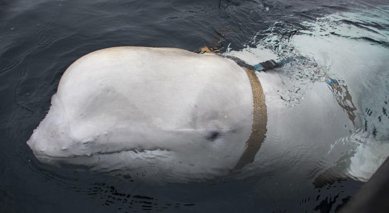 A beluga whale seen as it swims next to a fishing boat before Norwegian fishermen removed the tight harness, swimming off the northern Norwegian coast Friday, April 26, 2019.