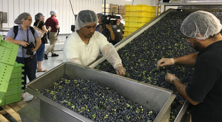 Workers are shown in a pro0cessing facility on the Macrie family blueberry farm.