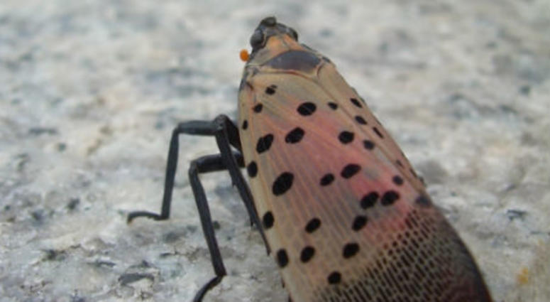 spotted lanternfly.
