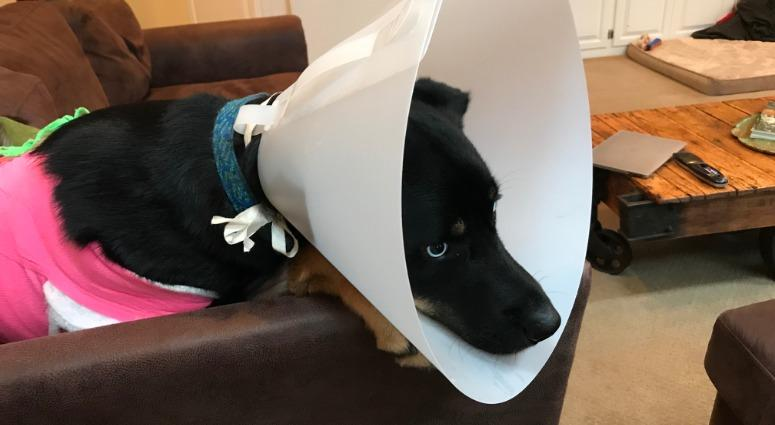 Atlas, a husky-Rottweiler mix, survived being shot early Sunday morning, but authorities are investigating who would do such a thing.