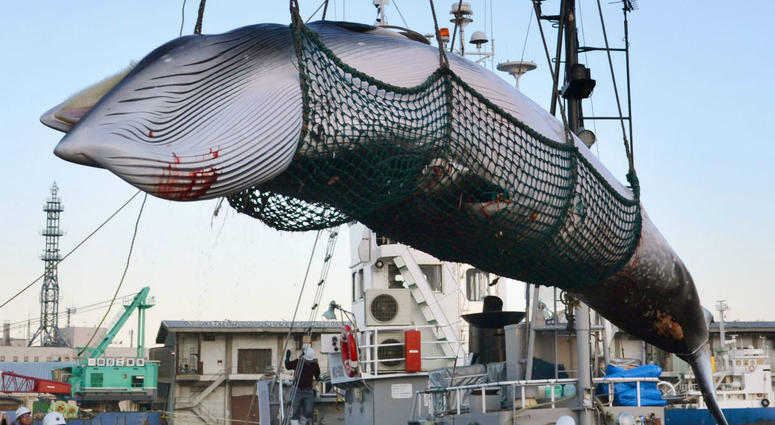 In this September, 2017, photo, a minke whale is unloaded at a port after a whaling for scientific purposes in Kushiro, in the northernmost main island of Hokkaido.