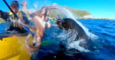 A seal slaps a kayaker with an octopus.