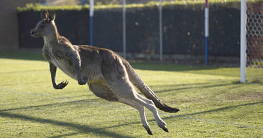 A kangaroo interrupts the Women's Premier League between Belconnen United and Canberra FC match in Canberra for over 30 minutes.