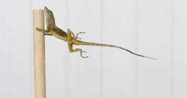 In this Oct. 19, 2017 photo provided by Colin Donihue, an anoles lizard hangs onto a pole during a simulated wind experiment in the Turks and Caicos Islands.