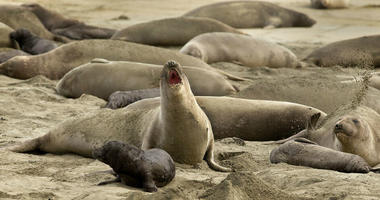 In this photo taken Monday, Jan. 28, 2019, without tourists and park rangers to discourage them during the government shutdown, elephant seals have expanded their pupping grounds in Point Reyes National Seashore, Calif.