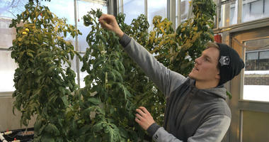 Colton Welch, a junior at the State University of New York at Morrisville, N.Y., tends hydroponic tomato plants which will provide students with data applicable to cannabis cultivation on Feb. 14, 2019.