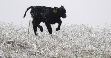A calf runs through an ice field on a ranch outside of Kilgore, Neb. on  Wednesday, April 10, 2019 while a bomb cyclone storm brings heavy snow and strong winds to several Rockies and Plains states.