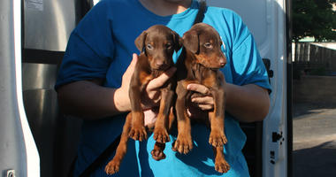 The three debarked dogs, as well as two other adult dogs and 10 puppies — some as young as 4 weeks old — were also rescued and signed over to the PSPCA's care.