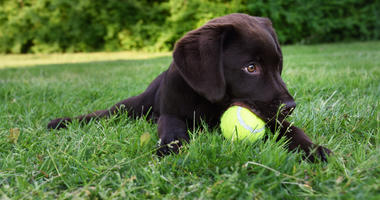 Labrador puppy playing with a tennis ball