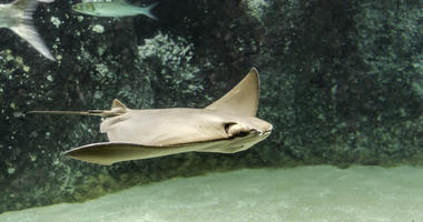 Brown back and wings of swimming Cownose ray (Rhinoptera bonasus). They are often mistaken for being a shark by beach-goers due to the fins sticking out of the water, resembling the fin of a shark.