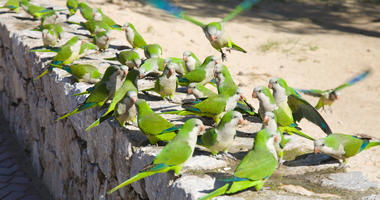 A group of feral monk parakeets feeding in a park in Spain