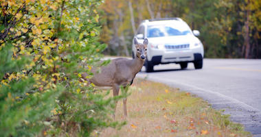A deer on the side of the streets with a car approaching.