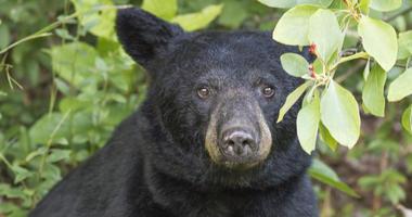 Gazing Black Bear - stock photo