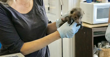 A newborn red fox at the Philadelphia Metro Wildlife Center in King of Prussia.