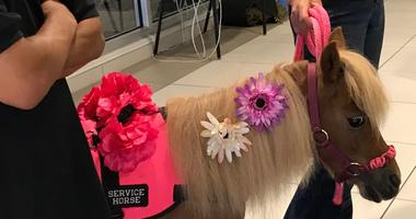 Little Miranda, a miniature therapy horse from Jacobs Mane of Hope, made her debut at Temple University Hospital.