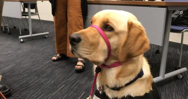"Daisey, the ""comfort dog"""