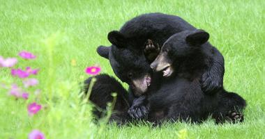 Two American black bears in New Jersey