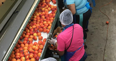 Workers sort peaches at a Glassboro facility.