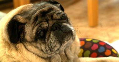 A small study finds that dogs will move faster to be with their owners if the person is crying versus humming a tune
