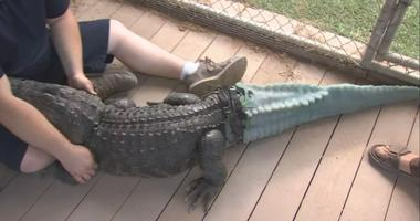 "Thanks to a team of researchers and doctors, the alligator in Arizona known as ""Mr. Stubbs"" can move like a normal alligator now that he has a prosthetic tail. The tail took more than a year to develop."