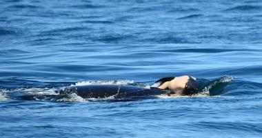 An apparently grieving female orca whale who swam with the body of her dead calf for more than two weeks has stopped carrying the carcass, environmental officials said.