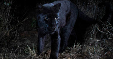 Will Burrard-Lucas  shot the images of the black leopard at Laikipia Wilderness Camp
