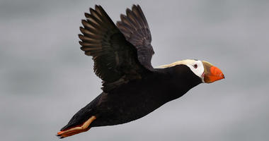 Tufted puffins, those adorable black and white birds with big orange beaks, experienced an unusual die-off in the Bering Sea in late 2016 through early 2017. M