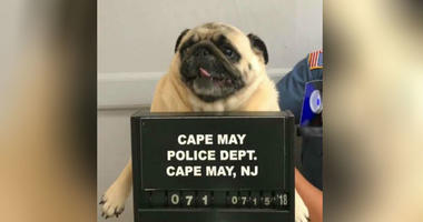 """This photo provided by the Cape May N.J. Police Department shows """"Bean"""" a pug dog being photographed at the Cape May Police Dept., in Cape May, N.J."""