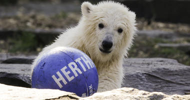 The polar bear cub Hertha plays with a ball of soccer club Hertha BSC, after the announcing of her name, at the Tierpark zoo in Berlin, Tuesday, April 2, 2019.