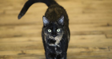 This Thursday, Oct. 5, 2017 photo shows Shelley, an adopted cat, at its new home in Philadelphia.