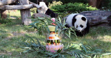 France's first baby panda Yuan Meng celebrates his first birthday with a birthday cake composed of bamboo, honey, apples, oranges, strawberries and lemons, at the ZooParc de Beauval in Beauval, central France, Saturday Aug. 4, 2018.