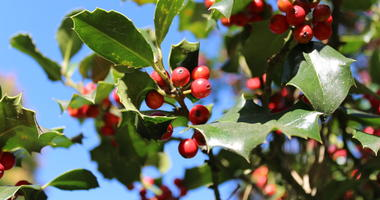 Christmas Berry Plant