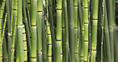 Bamboo rules are becoming common throughout the region.