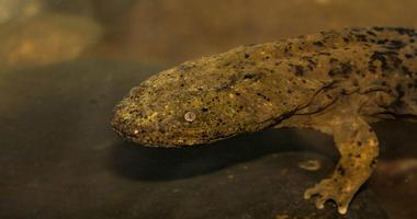 Eastern hellbender salamander