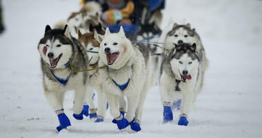In this March 3, 2018, file photo, Eagle River, Alaska musher Tom Schonberger's lead dogs trot along Fourth Avenue during the ceremonial start of the Iditarod Trail Sled Dog Race in Anchorage, Alaska.