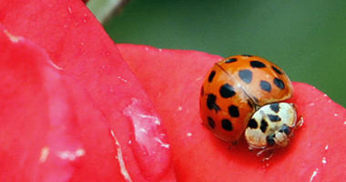 In this May 26, 2010 file photo, a Coccinellidae, more commonly known as a ladybug or ladybird beetle, rests on the petals of a rose in Portland, Ore.