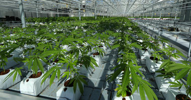 In this Sept. 11, 2018, file photo Steve Fagan, grower and collective owner of SLOgrown Genetics, attends to his organically cultivated cannabis at his farm in the coastal mountain range of San Luis Obispo, Calif.